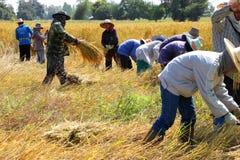 Manier van het leven van Thaise landbouwer in de oogsttijd Stock Foto