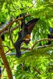 Maniez la batte (renard de vol) accrocher sur un arbre Image libre de droits