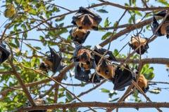 Maniez la batte (renard de vol) accrocher sur un arbre Images libres de droits