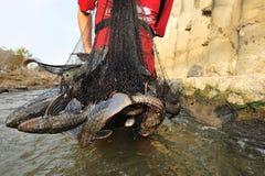 Manifestation étrangère d'espèce de Plecostomus (poisson de surgeon) en rivière Photo libre de droits