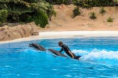 Manifestazione del delfino al parco di Loro, canarino di Puerto de la Cruz, Tenerife immagine stock