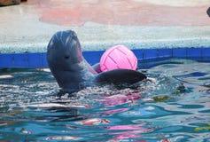 Manifestazione del delfino con una palla immagini stock libere da diritti
