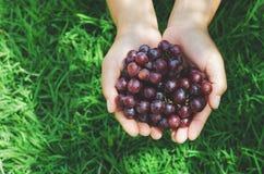 manifestazione disponibila dell'agricoltore dell'uva matura sul fondo dell'erba verde Fotografia Stock