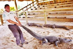 Manifestazione lottante della fauna selvatica dei terreni paludosi di Florida del parco dell'alligatore Fotografie Stock