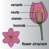 Manifesto sul tema della struttura del fiore botanica Fotografia Stock