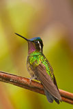 Manificent Hummingbird Stock Photography
