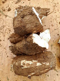 Manihot esculenta! Fotografia Stock Libera da Diritti