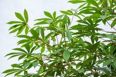Manihot esculenta leaves Stock Photography