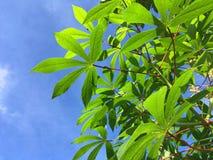 Manihot esculenta leaves Stock Photos