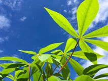 Manihot esculenta leaves Royalty Free Stock Images