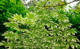 Manihot esculenta trees at the Botanic Gardens in Singapore.  Stock Photography