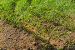 Manihot field in Zanzibar Royalty Free Stock Photography