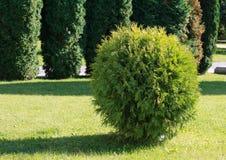 Manikürter Busch im Garten beleuchtete durch die Sonne Lizenzfreies Stockbild