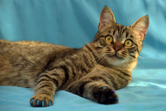 Manikyr för katter arkivbilder