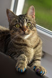 Manikyr för katter royaltyfria bilder