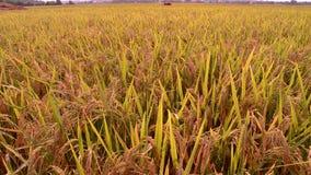 Manila, Filipinas - 1 de junio de 2014: Sirva el arroz de la cosecha en un arroz de arroz en las Filipinas metrajes