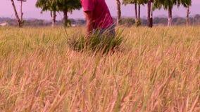 Manila, Filipinas - 1 de junio de 2014: Sirva el arroz de la cosecha en un arroz de arroz en las Filipinas almacen de video