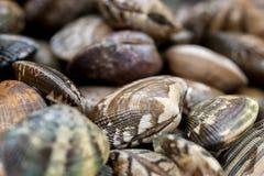 Manila mussla Arkivbild