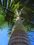 Manila Palm: Bottom's Up! Stock Photo