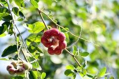 Manila tamarindfrukt på träd Fotografering för Bildbyråer
