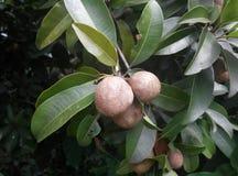 Manilkara zapota (frutta di Ciku nel malese) Fotografia Stock
