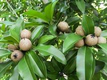 Manilkara zapota owoc Zdjęcie Stock