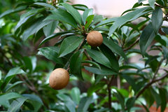Manilkara zapota - sapodilla fruit on tree Stock Image