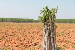 manioc Photo libre de droits