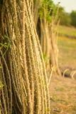 manioc photographie stock