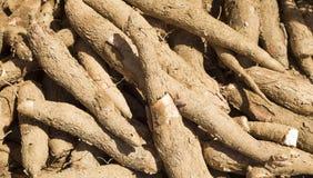 Manioc cru - Manihot esculenta Photographie stock libre de droits