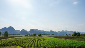 Manioc fields in Thailand with mountains in the background. Royalty Free Stock Image