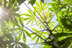Manioc, Mandioa, manioc, arbres de tapioca Photographie stock libre de droits