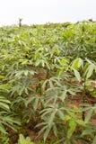 Manioc plantation Stock Image
