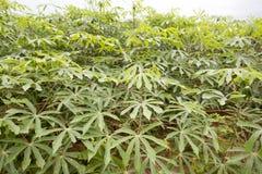 Manioc plantation Royalty Free Stock Photos