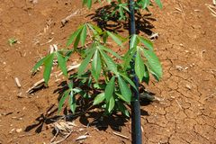 Manioc planting close up. Manioc planting under drip irrigation system stock images