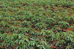 Manioc planting close up. Manioc planting under drip irrigation system stock photo