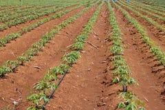 Manioc planting field. Manioc planting under drip irrigation system stock image