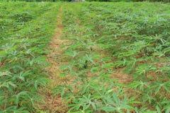 Manioc plants Royalty Free Stock Photo