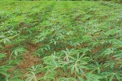 Manioc plants Stock Image