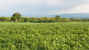 manioca Immagine Stock