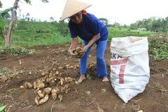 manioca Immagine Stock Libera da Diritti