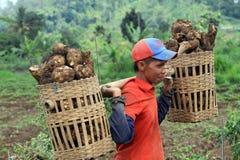 manioca Fotografie Stock