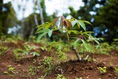 Manioca (Manihot esculenta), Java, Indonesia immagini stock