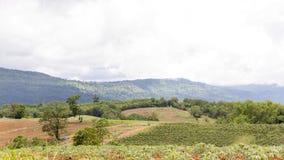 Maniok-cultuur padie met mountian en duidelijke blauwe hemel op achtergrond Royalty-vrije Stock Foto