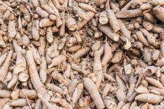 Maniok, tapioca, maniok Stock Fotografie