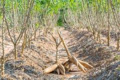 De oogst van de maniok stock fotografie