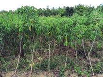 manioka lizenzfreies stockfoto