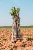 manioka Stockbild