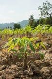 Manioka- oder Maniokajungpflanzefeld Lizenzfreie Stockbilder