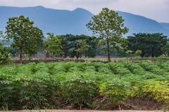 Manioka oder Tapioka wachsen heran Lizenzfreie Stockbilder